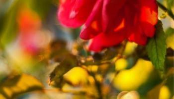 La rosa tierna…