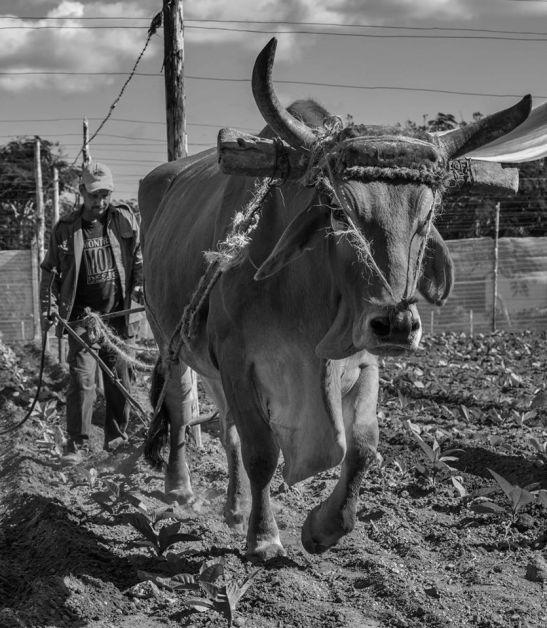 Campesino arando en San Luis, Pinar del Rio by Ariel Arias