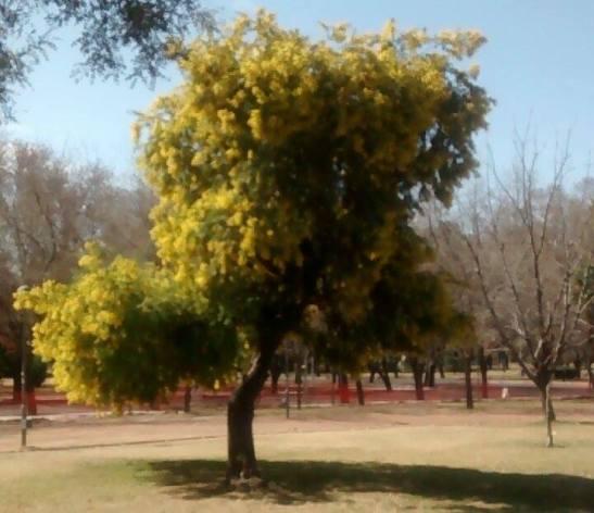Los Aromos de un parque de Mendoza, Argentina